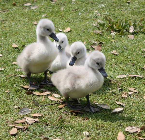 Маленькие лебедята