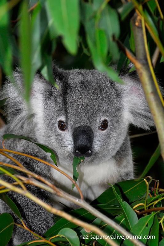 Коалы из Австралии