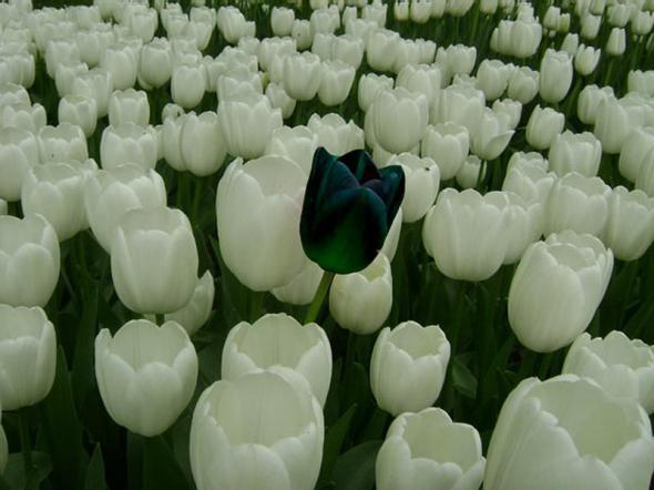История чёрного тюльпана